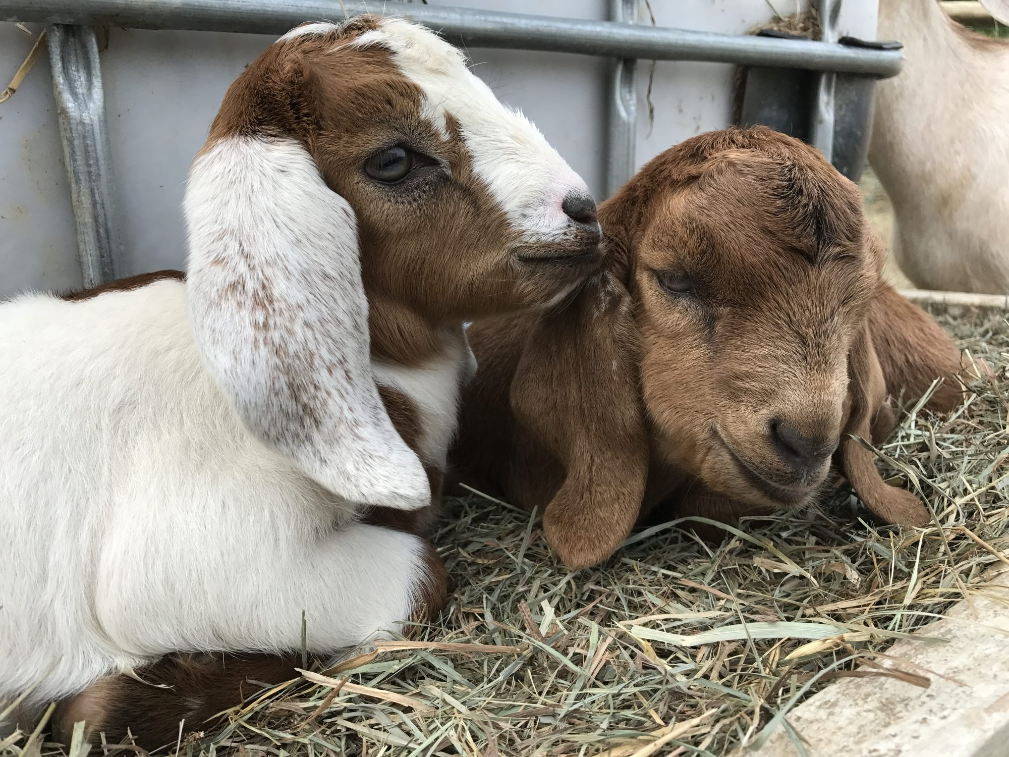 See goats on Family Farm Vacation rental